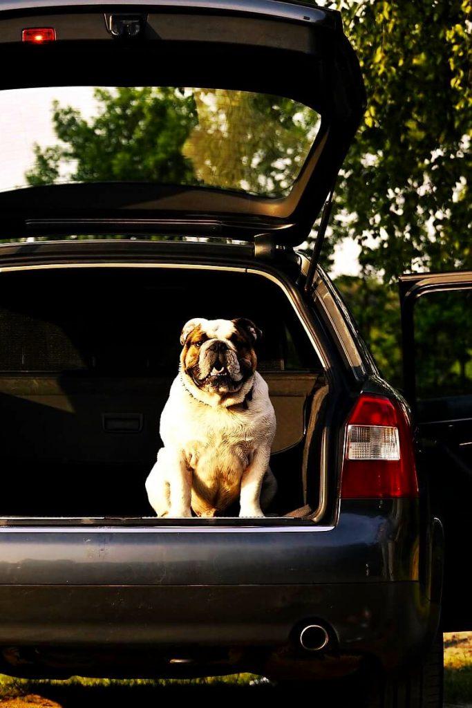 buldog angielski siedzący wbagażniku samochodu