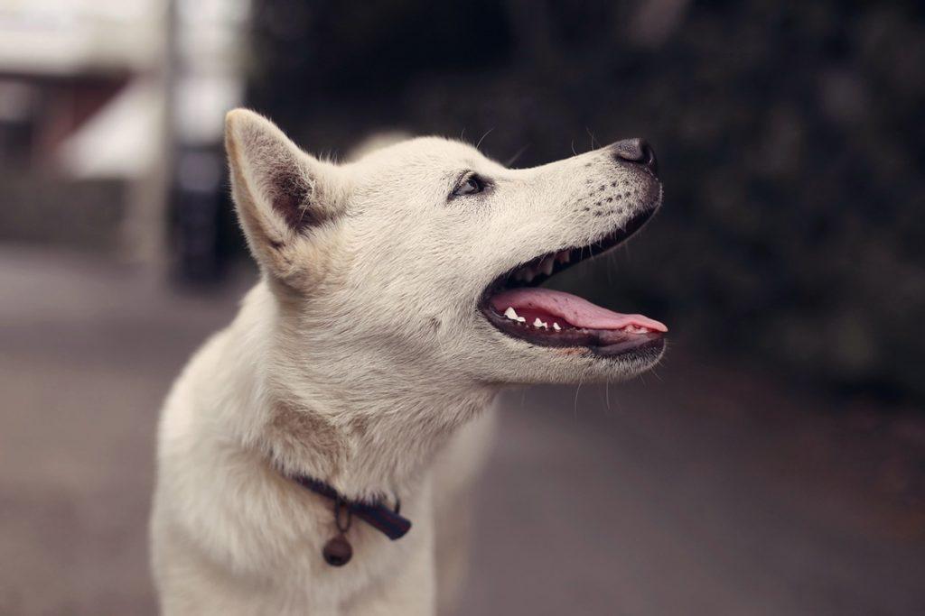 uśmiechnięty biały pies