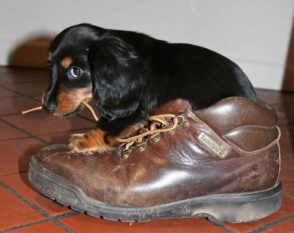 jamniczek gryzący buta